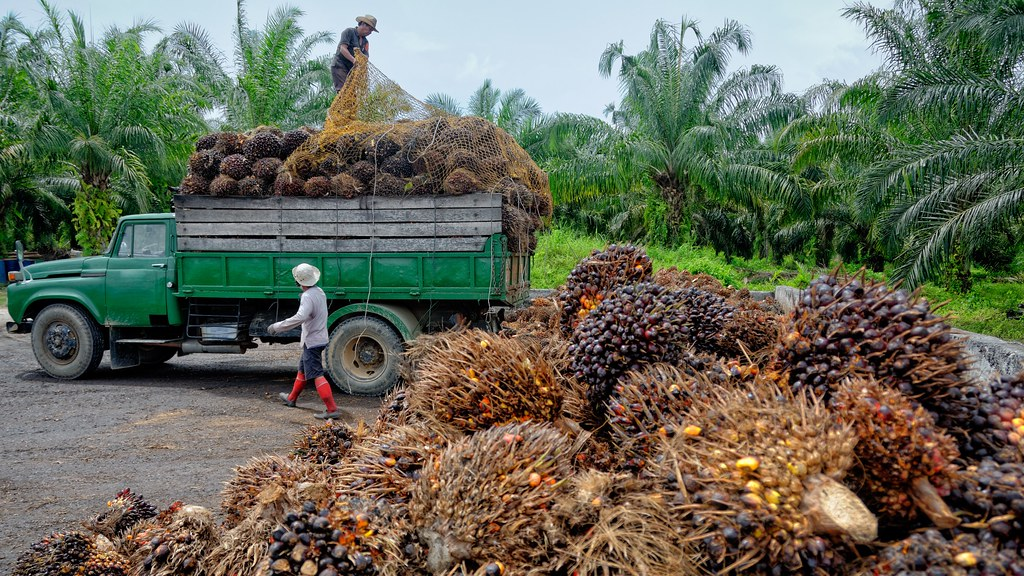 Plantation workers prepare to unload freshly harvested oil palm fruit bunches at a collection point. Credit: iStock / migin