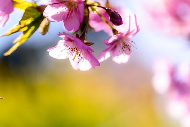 薄寒桜と菜の花 #2ーA cold cherry tree and canola flower #2