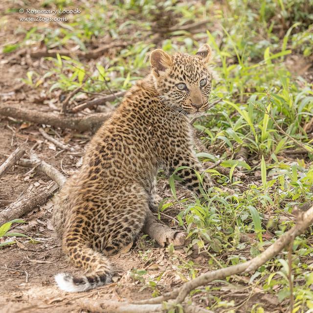 Leopard Cub - Panthera Pardus