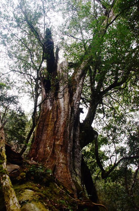 紅豆杉巨木