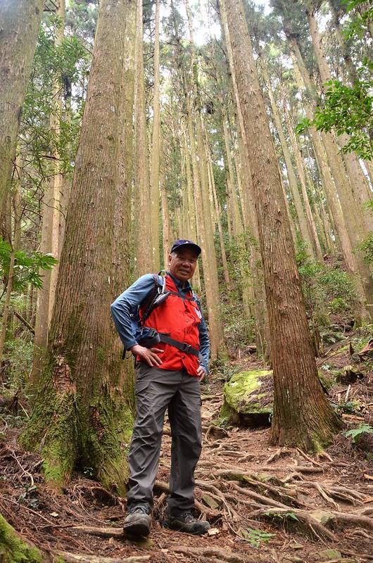 加里山步道柳杉林