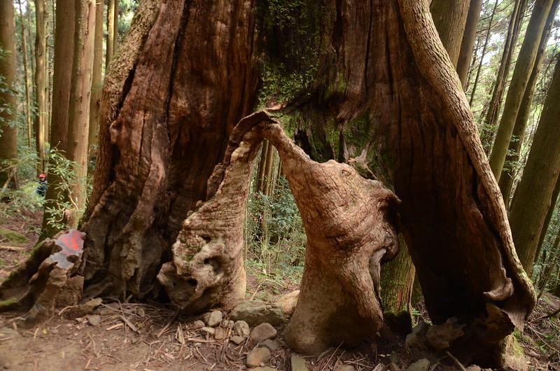 牛樟巨木 (2)