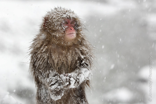 Snowmonkeys of Japan