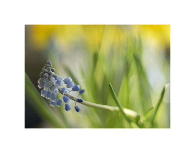 Muscari & Daffodils