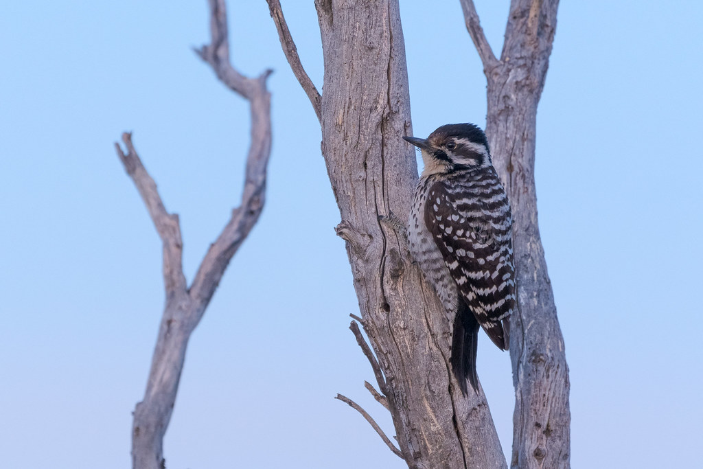 A female ladder-backed woodpecker clings to a dead tree in the blue light before sunrise on the Chuckwagon Trail in McDowell Sonoran Preserve in Scottsdale, Arizona in March 2020