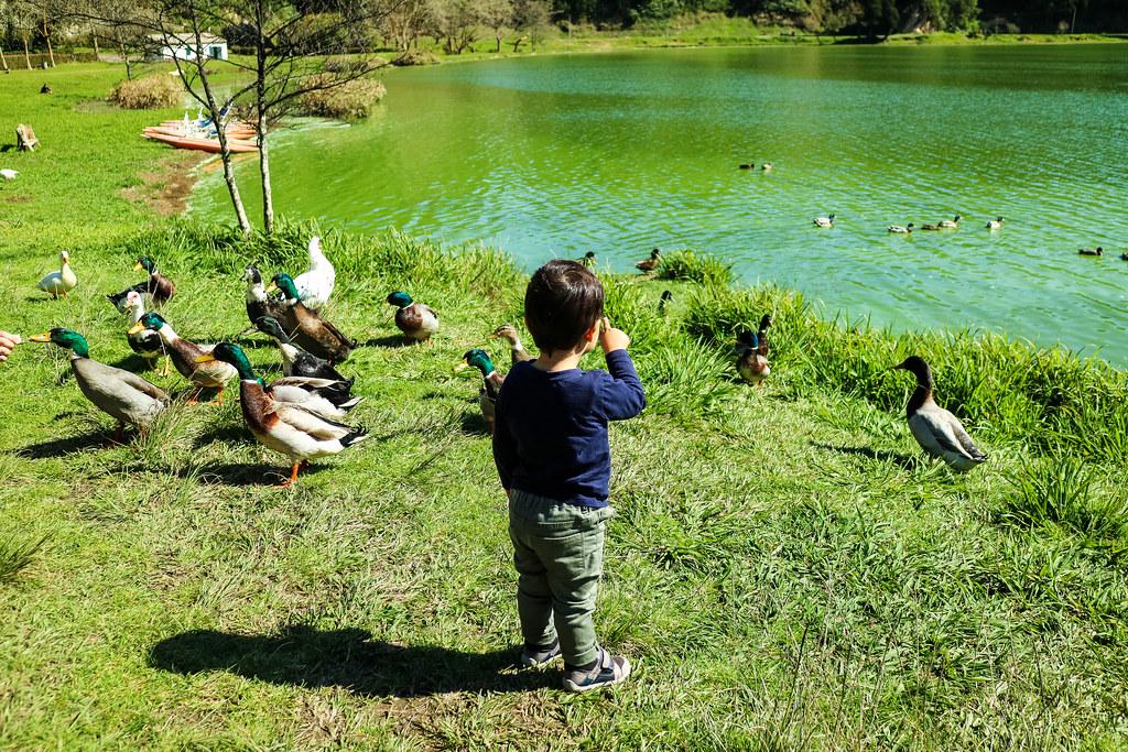 Patos en las orillas del Lago de Furnas en Sao Miguel