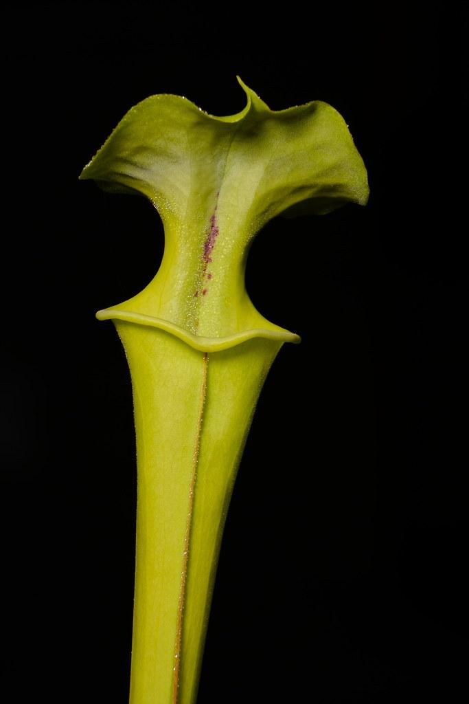 Sarracenia flava