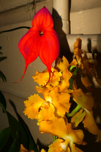 Masdevallia veitchiana ('Pacific Giant' x 'Bolin') species and Oncidium George McMahon hybrid orchid