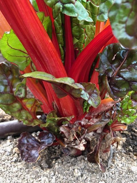 Las Vegas - Garden Plant Red