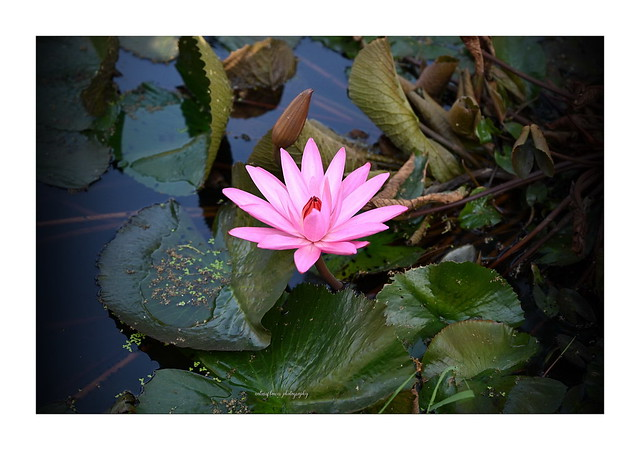 Lovely water lily.