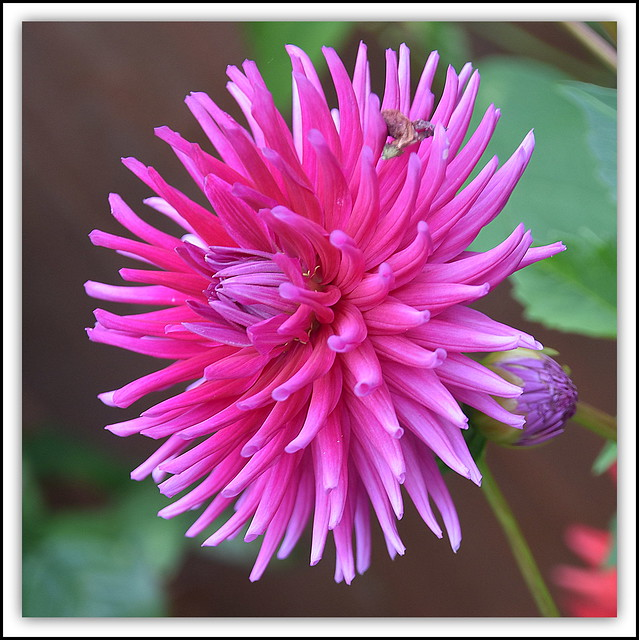 Flower Of The Day = Pink Dahlia