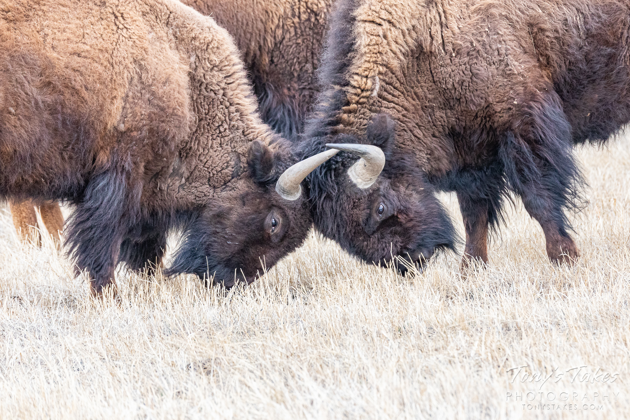 Two bison bulls go head to head. (© Tony's Takes)