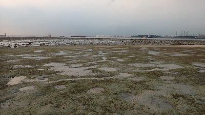 Dugong feeding trail in seagrass meadows, Beting Bemban Besar Mar 2020