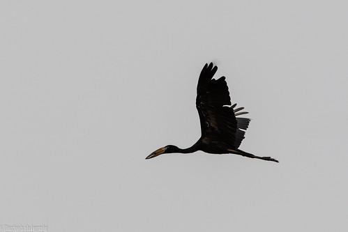 stork african openbill birds unilag lagos nikon d850 500 pf f56