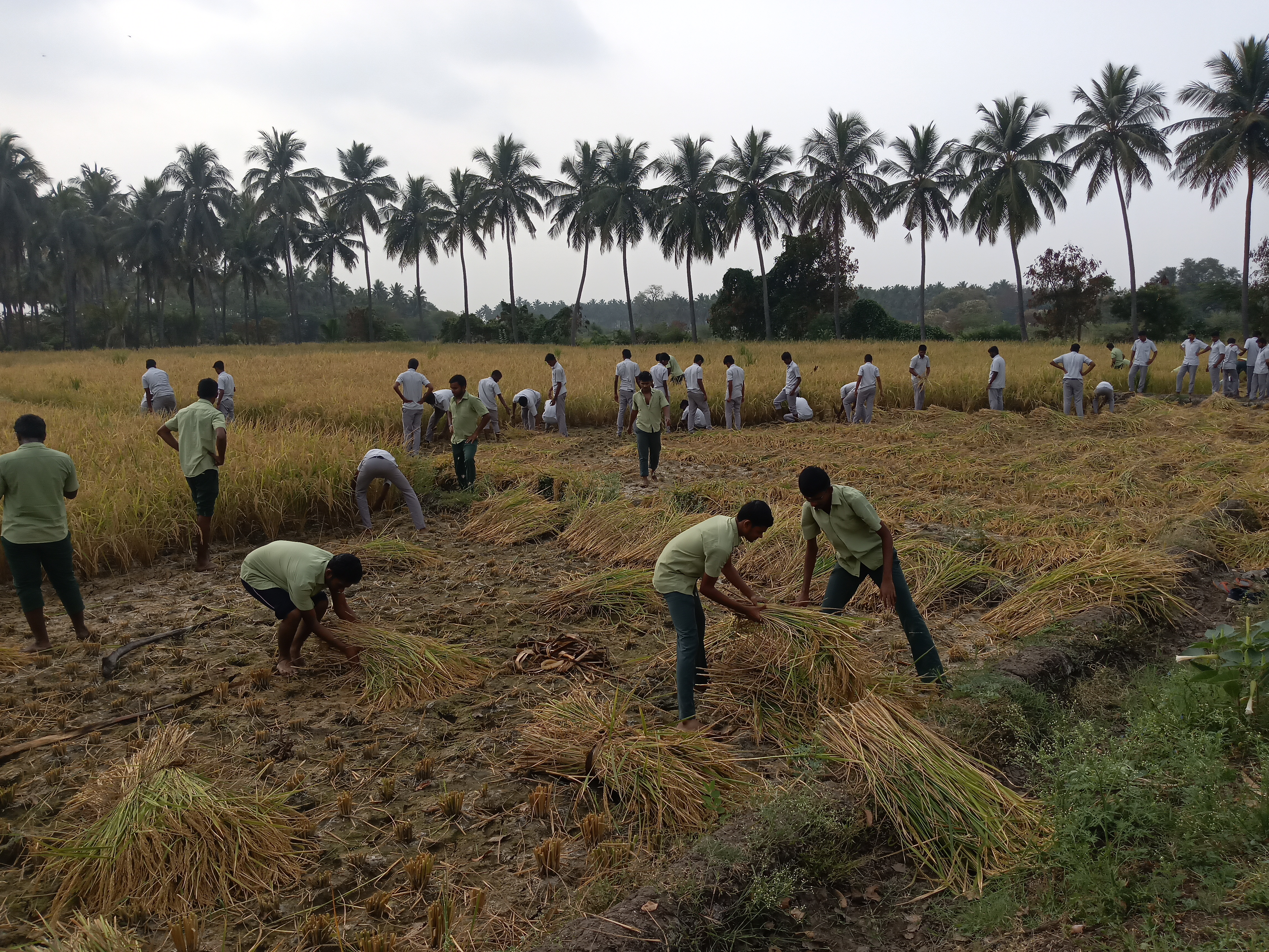 Crops production – Paddy harvesting – FAR