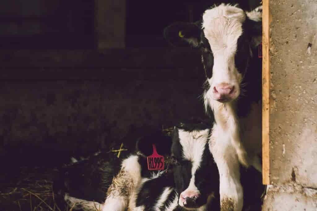 un-complément-alimentaire-réduit-le-méthane-des-vaches