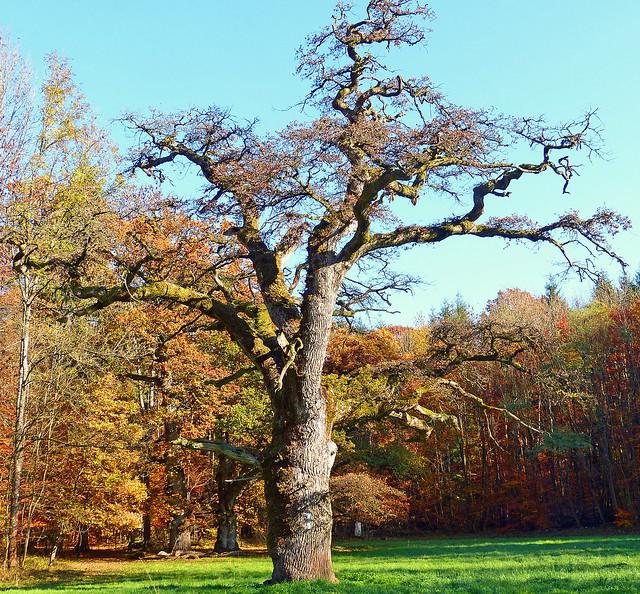 Uralte Eiche im Herbstwald