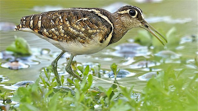 Winter Visitor: Great Painted Snipe