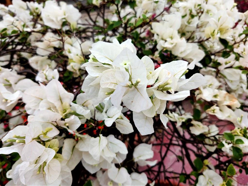 安平季節美景 (15)
