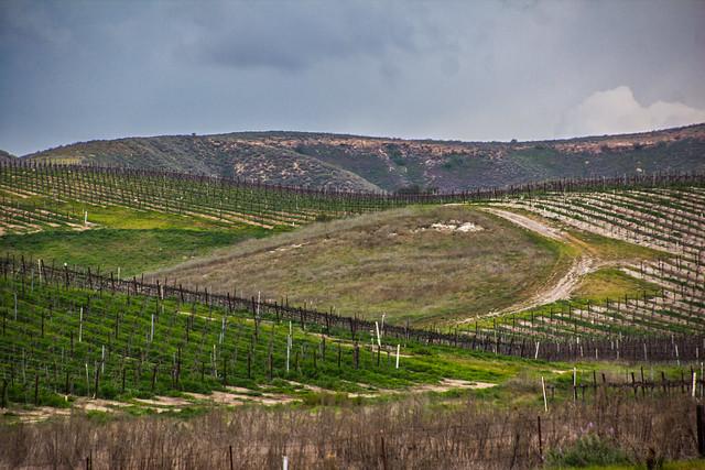 new plantings in the vineyard