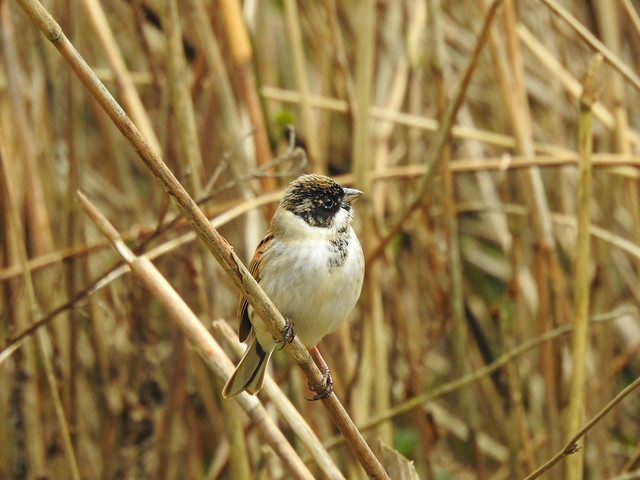 Reed Bunting DSCN6247