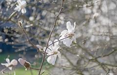 Windy Magnolia