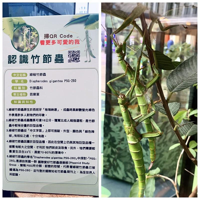 綠椒竹節蟲