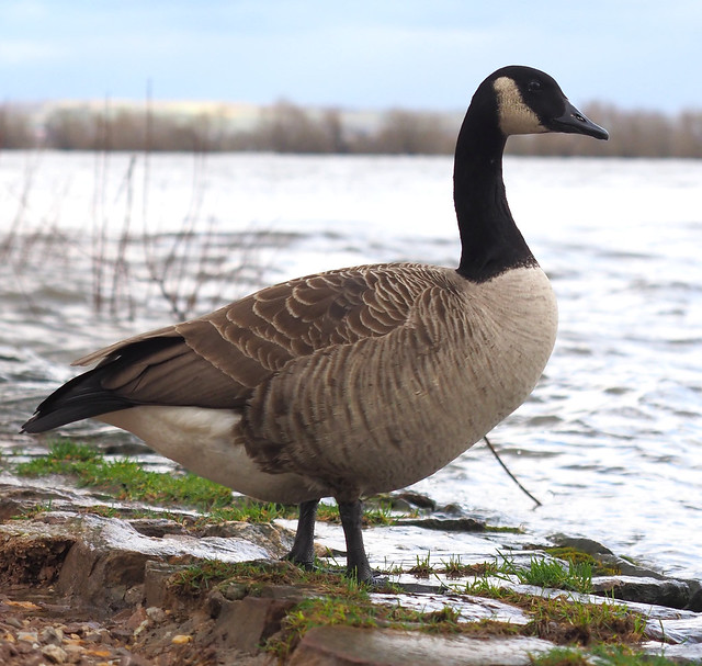 Canada Goose in Germany - Geisenheim on the River Rhine