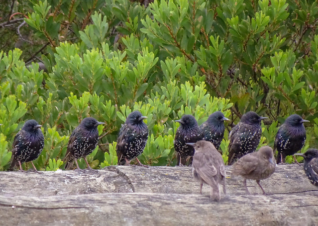 Speckled Flock