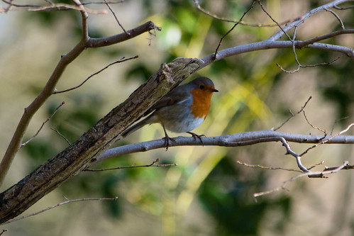 Robin, Pendeford Mill