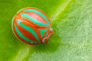 Candy planthopper (Hemisphaerius formosus) - DSC_4810