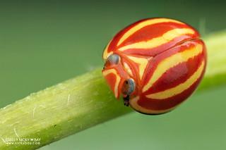 Candy planthopper (Hemisphaerius formosus) - DSC_4721