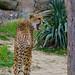 "<p><a href=""https://www.flickr.com/people/jl7561/"">jl7561</a> posted a photo:</p>  <p><a href=""https://www.flickr.com/photos/jl7561/49650304036/"" title=""Cheetah""><img src=""https://live.staticflickr.com/65535/49650304036_04edfdd08d_m.jpg"" width=""160"" height=""240"" alt=""Cheetah"" /></a></p>  <p>Dallas Zoo</p>"