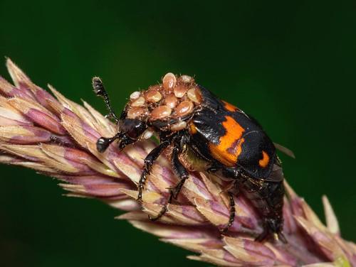 Flesh eating Beetle