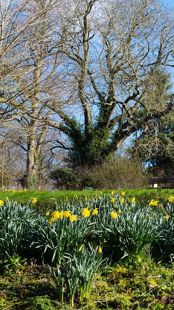 Daffodils, Donington and Albrighton LNR