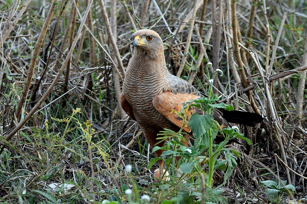 Savanna Hawk - The Pantanal Wetlands Wildlife