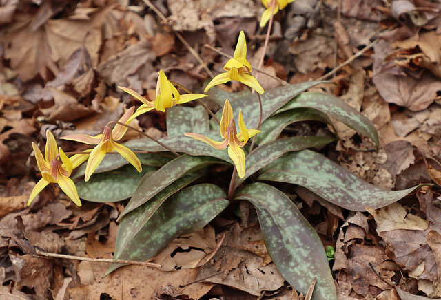 Dimpled Trout Lily