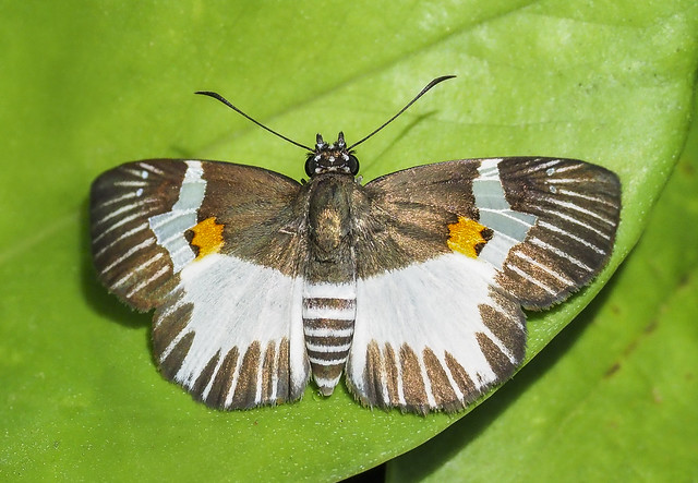 Orange-spotted Skipper - Atarnes sallei (Hesperiidae, Pyrginae, Achlyodidini) 120y-2084264