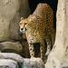 """<p><a href=""""https://www.flickr.com/people/jl7561/"""">jl7561</a> posted a photo:</p>  <p><a href=""""https://www.flickr.com/photos/jl7561/49650578267/"""" title=""""Cheetah""""><img src=""""https://live.staticflickr.com/65535/49650578267_0ecd86f2b1_m.jpg"""" width=""""192"""" height=""""240"""" alt=""""Cheetah"""" /></a></p>  <p>Dallas Zoo</p>"""