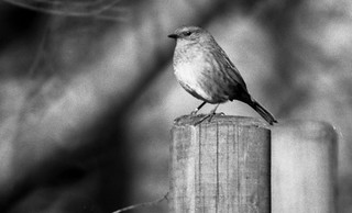 Dunnock on a post | by Richie Rue
