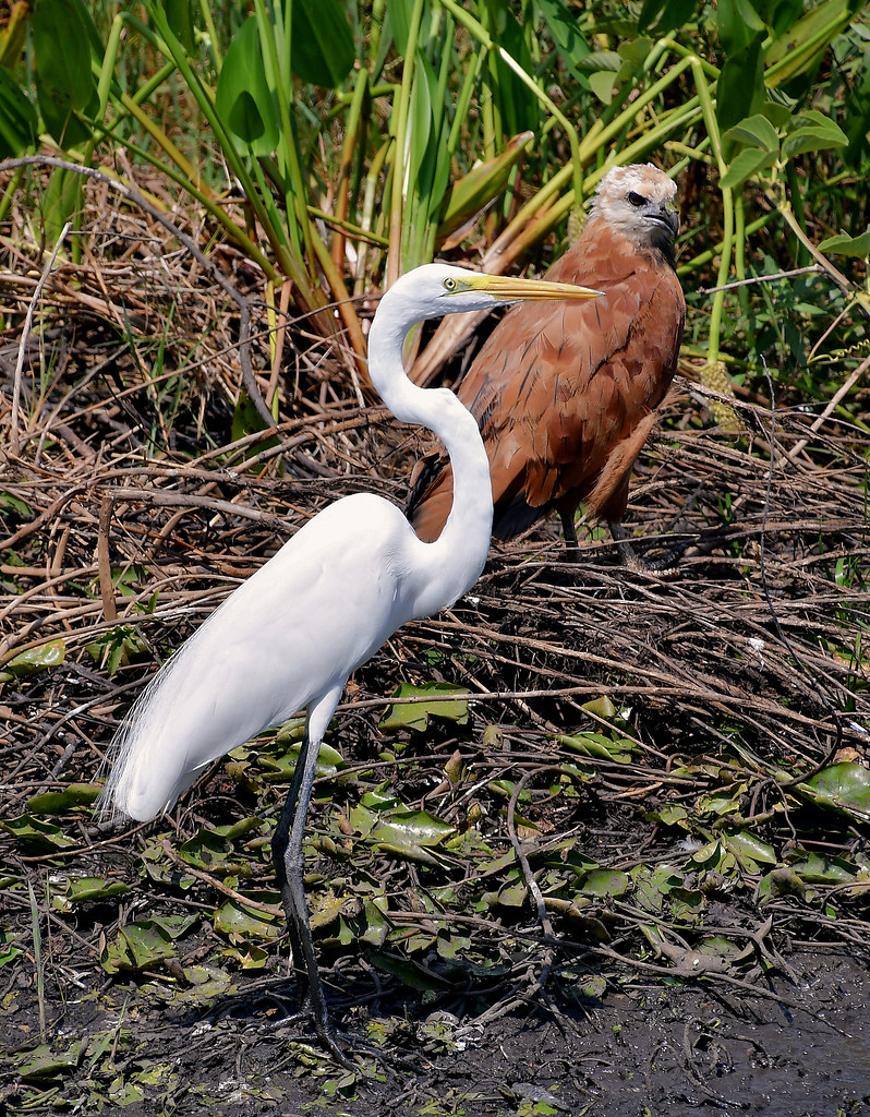 Birds of the Pantanal Wetlands, Brazil