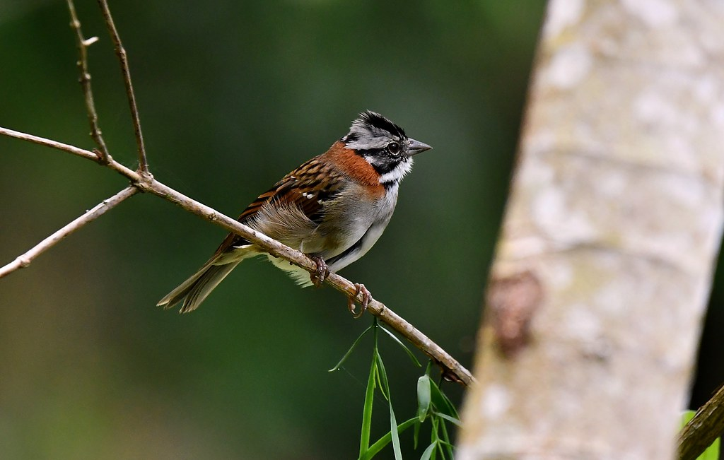 Rufous-collared Sparrow - The Pantanal Wetlands Wildlife