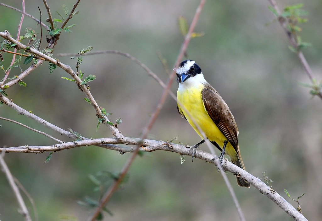 Great Kiskadee - The Pantanal Wetlands Wildlife