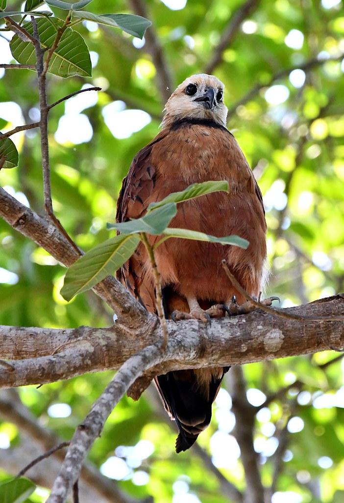 Black-collared Hawk in the Pantanal Wetlands of western Brazil.
