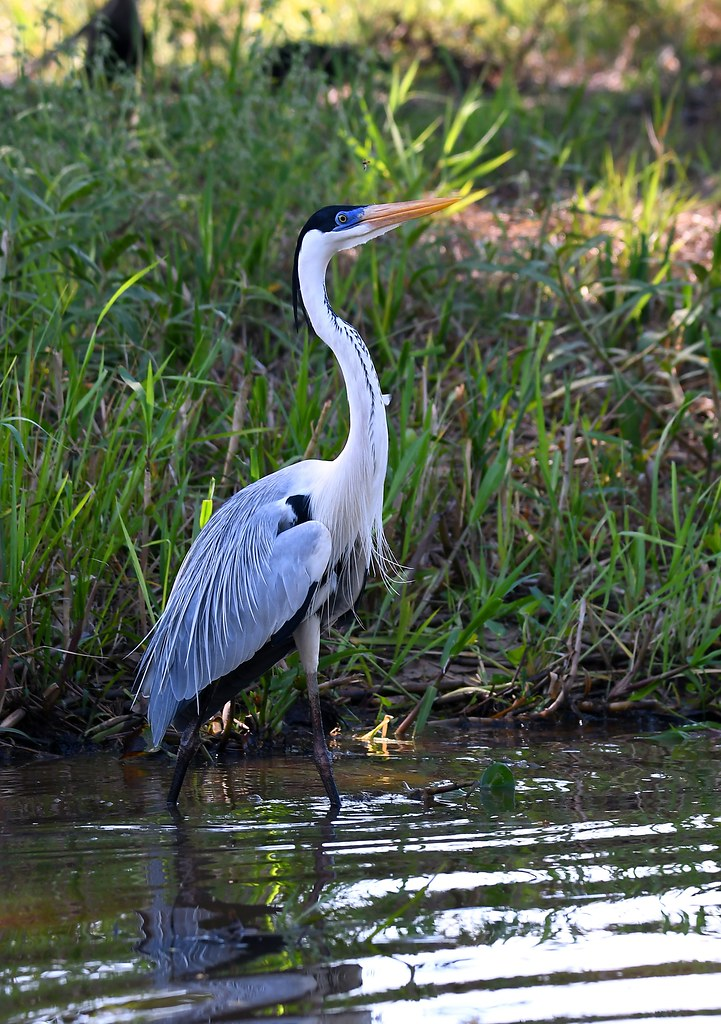 Cocoi Heron - The Pantanal Wetlands Wildlife