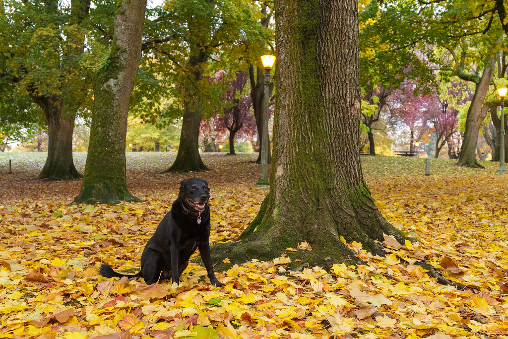 A wider view of our dog Ellie sitting amongst leaves next to the dog park in Irving Park in the Irvington neighborhood of Portland, Oregon in November 2011