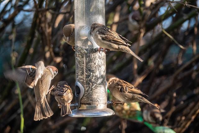 Attacke! (1) Feldsperling verdrängt Haussperling vom Futterspender - Attack! (1) Tree sparrow (Passer montanus) displaces house sparrow (Passer domesticus) from food dispenser
