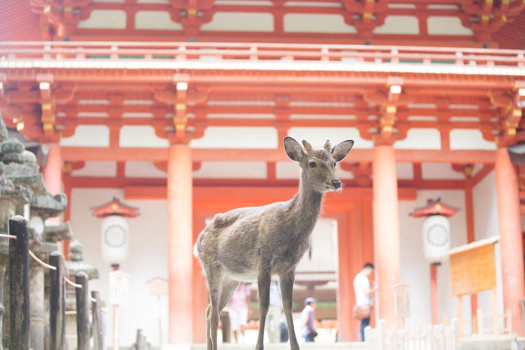 奈良鹿是日本的國定自然紀念物,遊客用鹿仙貝餵食是一大觀光賣點。攝影:吳宜靜。