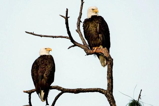 Male and Female Bald Eagle (Haliaeetus leucocephalus)