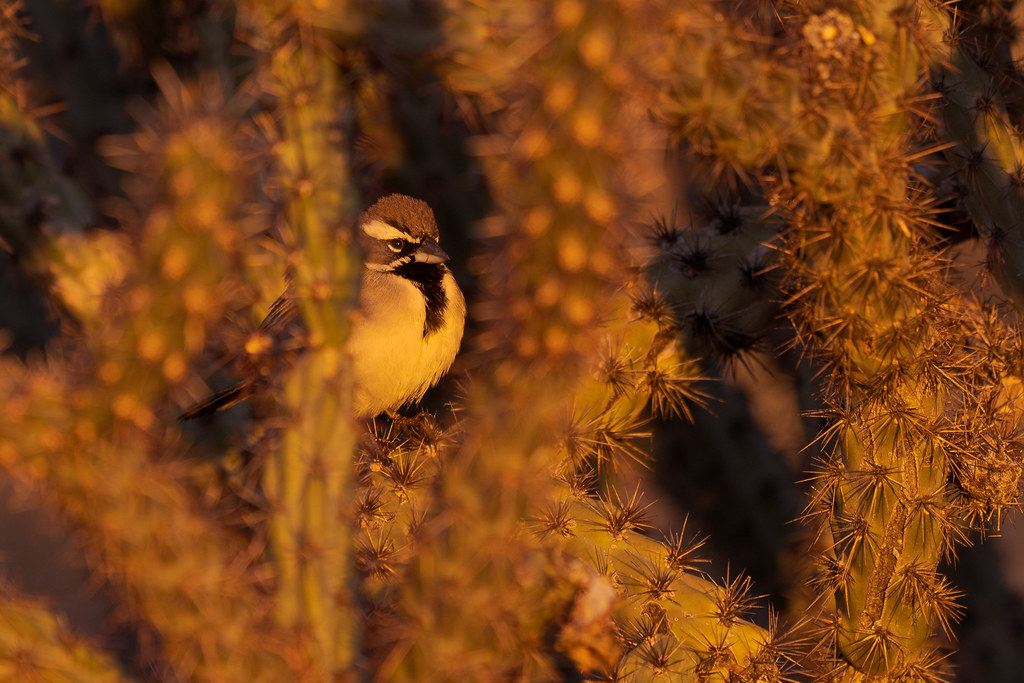 A black-throated sparrow, perched in a buckhorn cholla, looks out at the rising sun on the Marcus Landslide Trail in McDowell Sonoran Preserve in Scottsdale, Arizona in January 2020